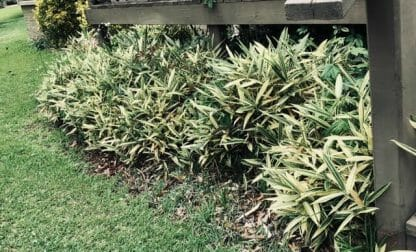 Albostriata in shade conditions