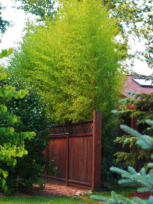 Spectabilis growing behind fence