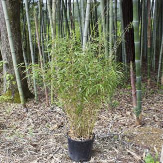 Rufa bamboo in 3 gallon size