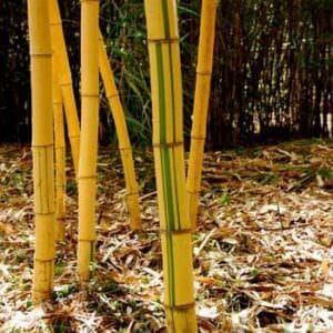 Grove of aureocaulis