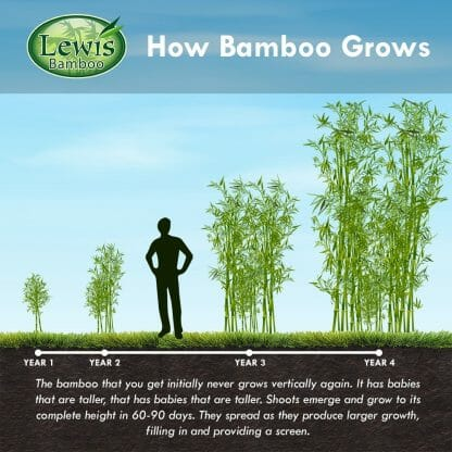 3-PACK USA Native River Bamboo Arundinaria Gigantea /'Giant Cane/'  Rhizome 1 Foot