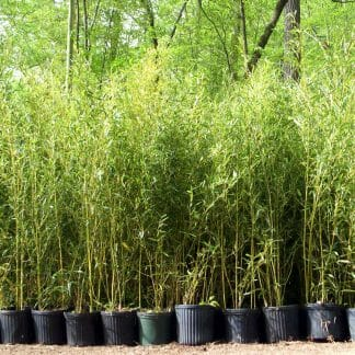 Cold Hardy Bamboo - Lewis Bamboo