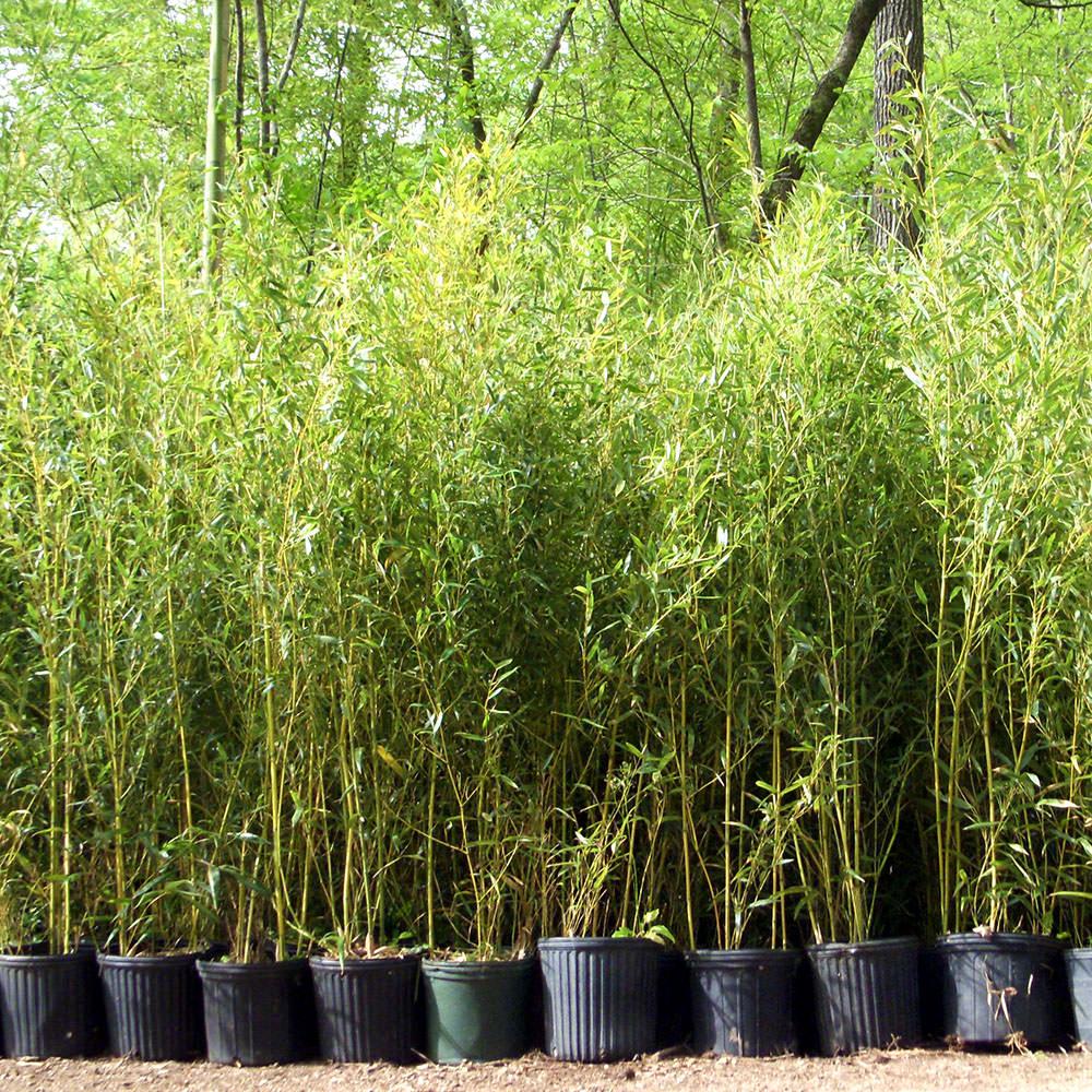 Spectabilis Lewis Bamboo