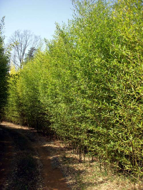 Phyllostachys Aurea 'Golden Bamboo' Privacy Screen