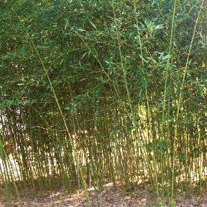 dwarf bissetii grove