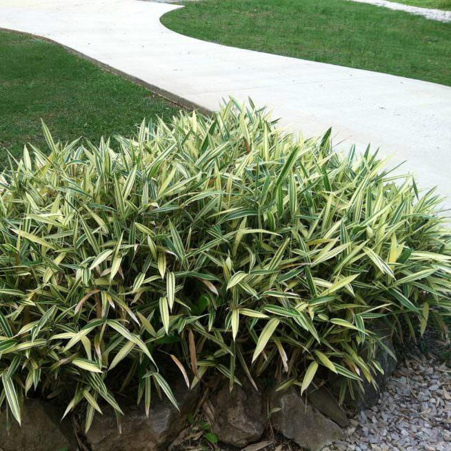 albostriata planted by driveway