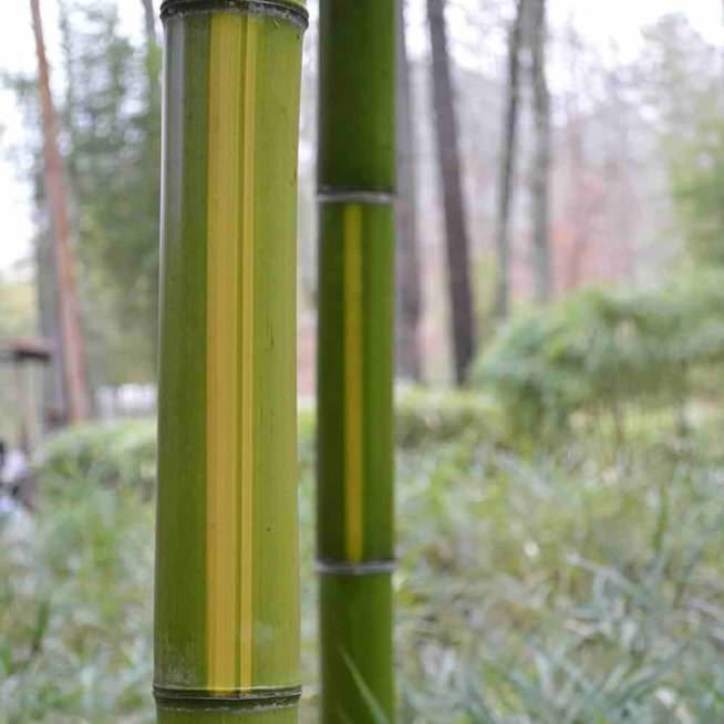 Huangwenzhu yellow stripe