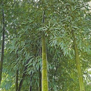 Vivax bamboo picture