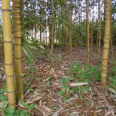 Picture of our Aurea 'Golden Golden' grove