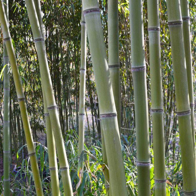 Congesta bamboo canes
