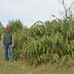 Giant leaf bamboo grove at our farm