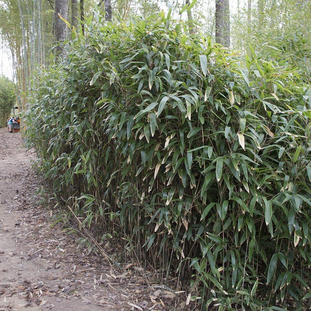 Latifolius grove