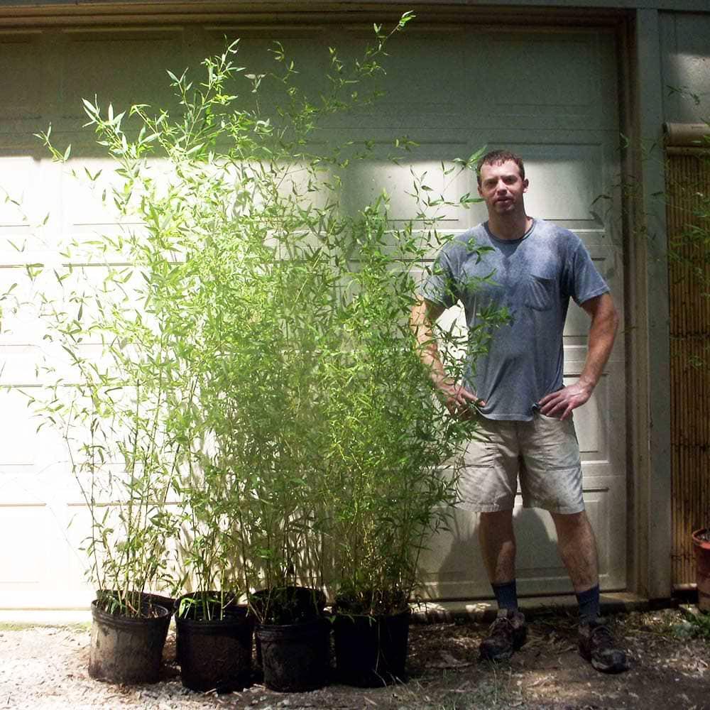 three gallon pots of nuda bamboo