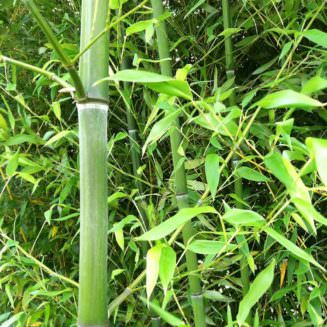 cane pictures of nuda bamboo