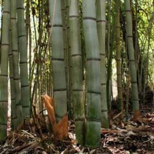 Closeup of giant gray bamboo canes