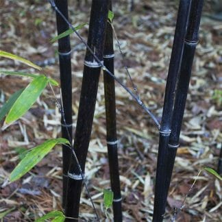 closeup of the shiny black bamboo canes