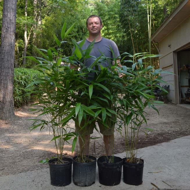 Three gallon Moso plants ready for sale