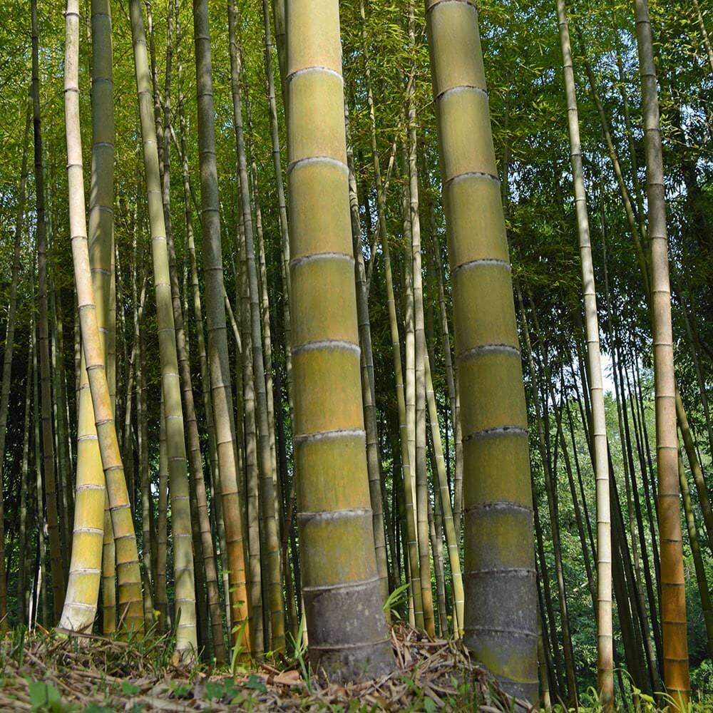 """Picture of our moso grove with its giant 7"""" thick canes"""