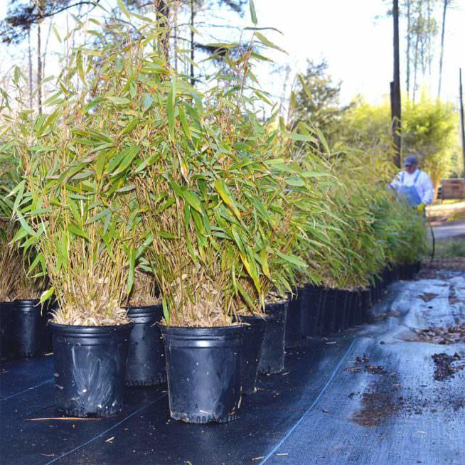 One gallon rufa pots ready for sale