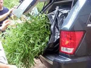 bamboo loaded into trunk of a car