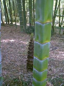 square bamboo
