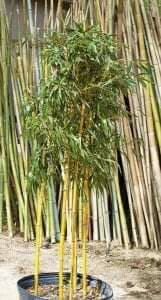 topping bamboo, gives thicker foliage