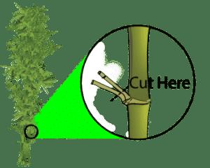 limbing bamboo diagram