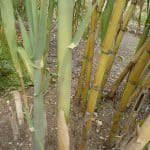 Arundo donax bamboo lookalike