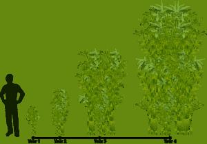 bamboo growing habits diagram