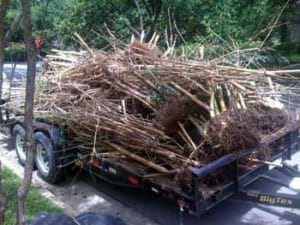 removed Alphonse Karr clumping bamboo
