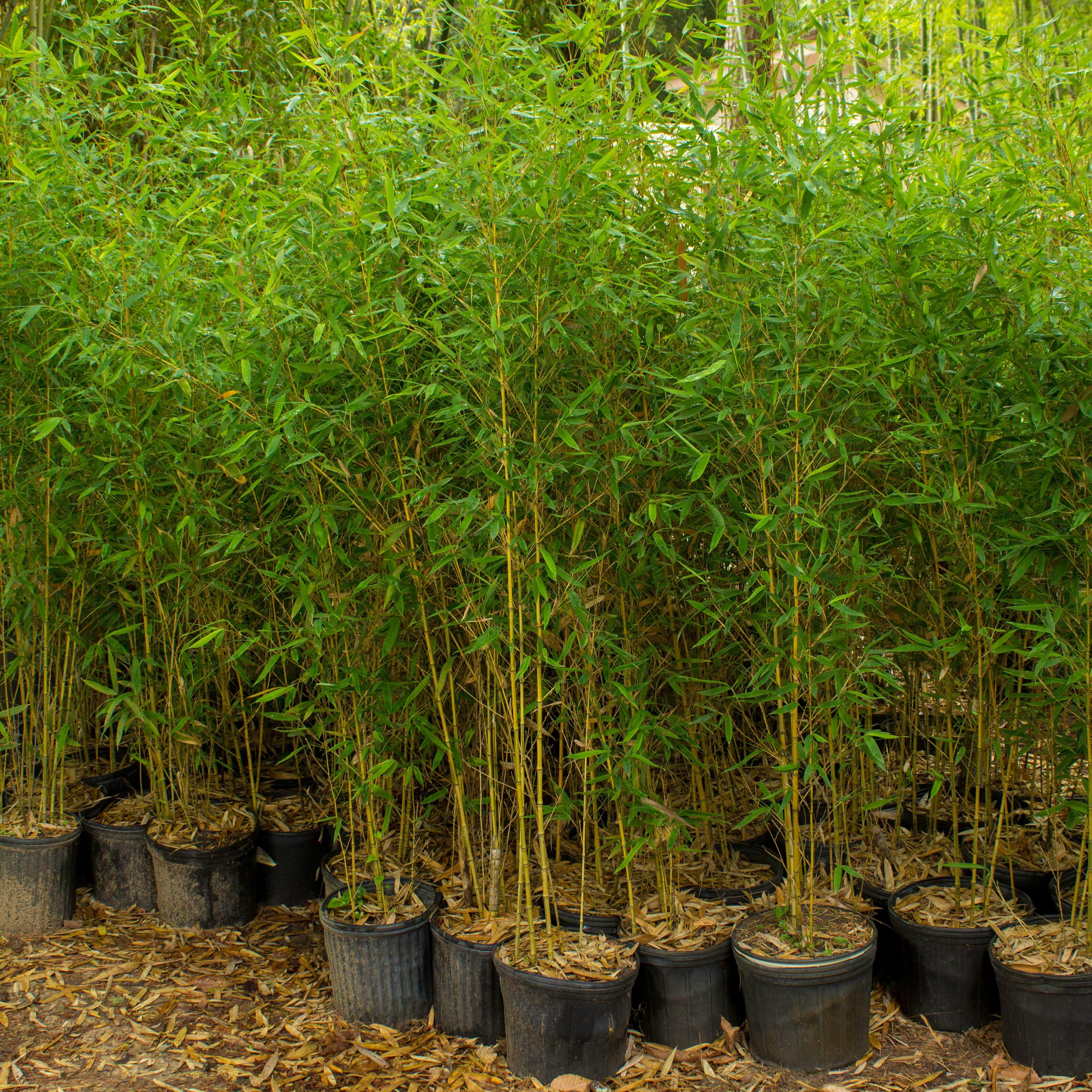Aurea Koi Lewis Bamboo
