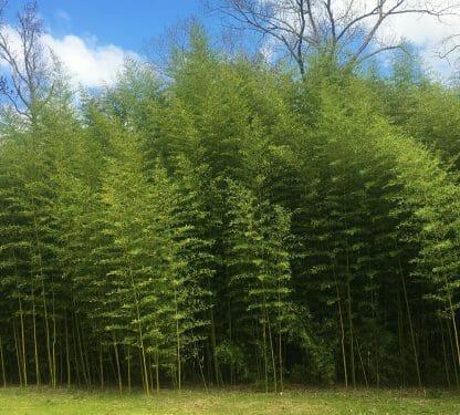 Mature grove of Phyllostachys atrovaginita