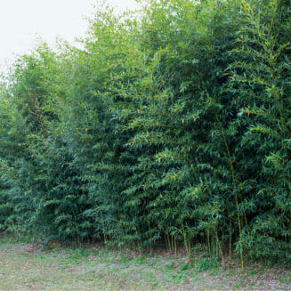 Planting of Golden Bamboo at a park in Northern Florida