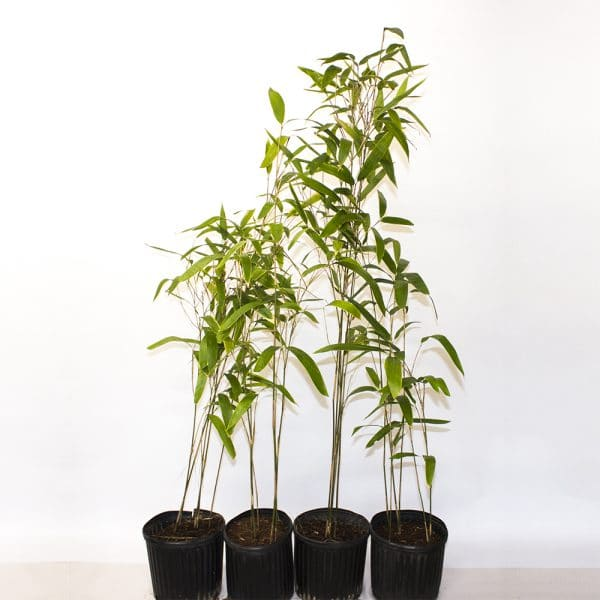 three gallon pots of latifolius