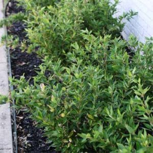 Ruscus planted near a house