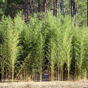 Spectabilis grove picture