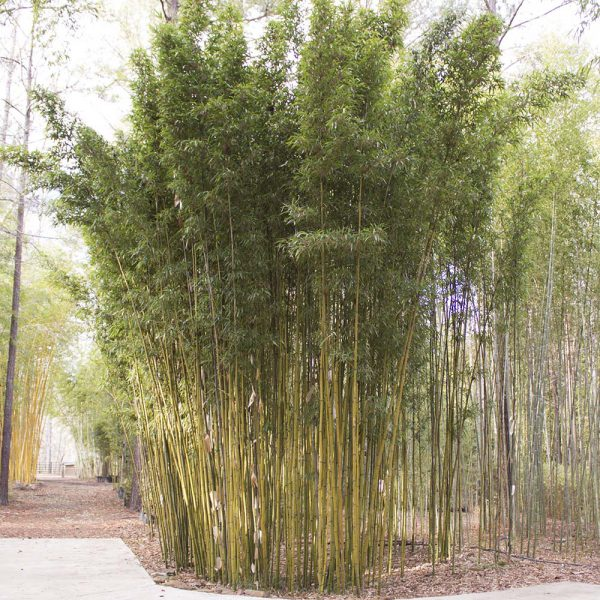 Temple bamboo planted at our nursery