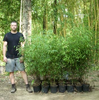 two gallon pots of our black bamboo
