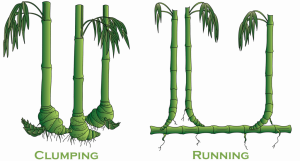 clumping bamboo vs running bamboo diagram