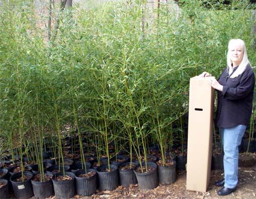 bamboo plant sizes