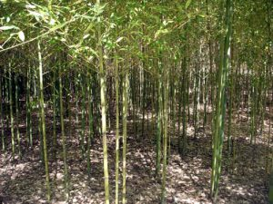 limbing bamboo gives a very cool effect