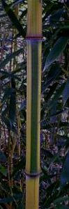 spectabilis cane picture with green stripe