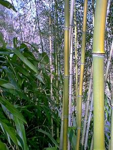close up of yellow groove bamboo canes