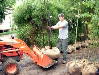 Loading large black bamboo