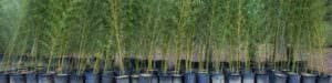 Large containers of Phyllostachys Bissetii
