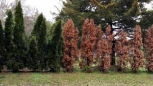 damaged cypress trees
