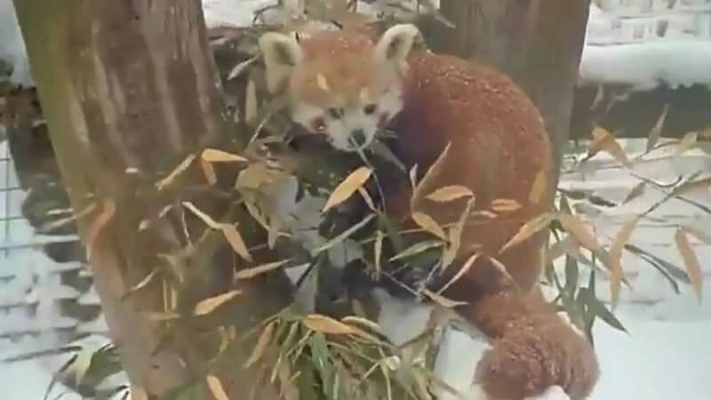 red panda eating bamboo in new york