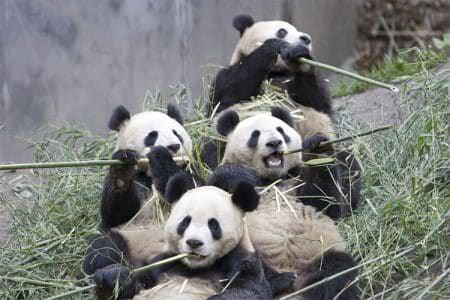 panda family eating bamboo
