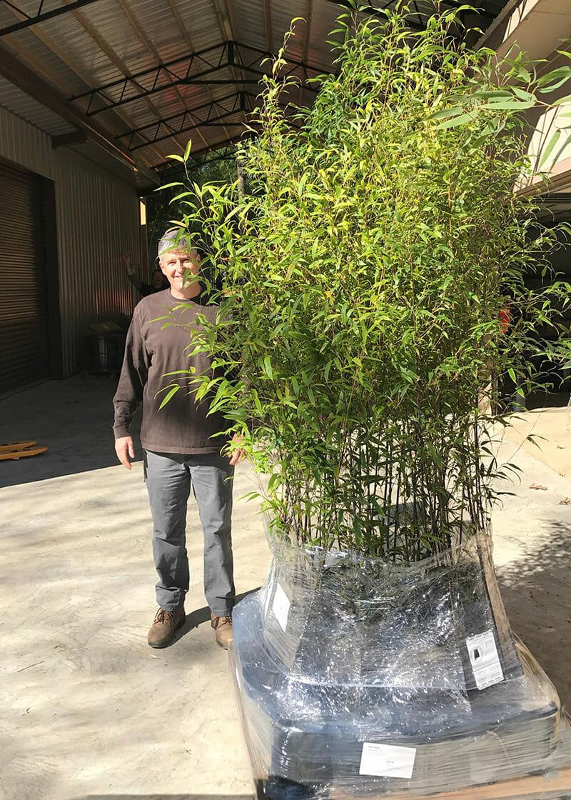 6 10 Feet Tall Bamboo 3 Gallon Lewis Bamboo