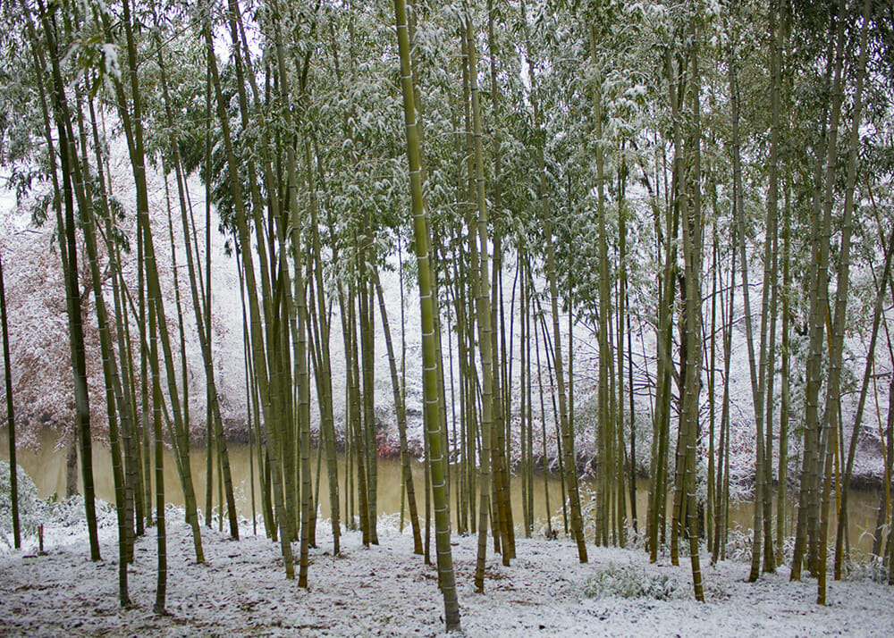 Grove of moso and vivax bamboo overlooking wolf creek. Snow covering the ground